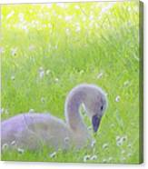 Baby Swans Enjoy A Summer Day Canvas Print