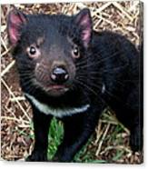 Baby Tasmanian Devil Canvas Print