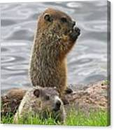 Baby Woodchucks Canvas Print