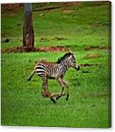 Baby Zebra Running Canvas Print