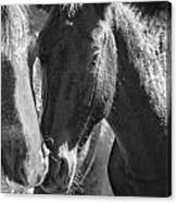 Bachelor Stallions - Pryor Mustangs - Bw Canvas Print