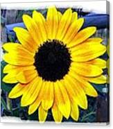Back Forty Sunflower Canvas Print