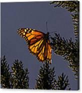 Back Lit Monarch Canvas Print