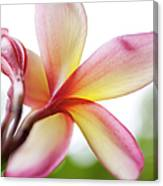 Back Of Plumeria Flower Canvas Print