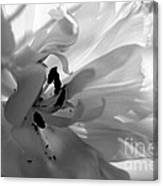 Backlit Black And White Tulip Canvas Print