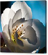 Backlit Cherry Blossom Canvas Print