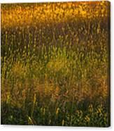 Backlit Meadow Grasses Canvas Print