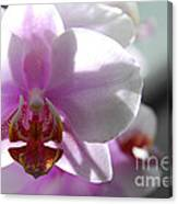Backlit Orchid Canvas Print