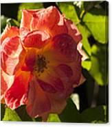 Backlit  Rose Canvas Print