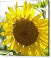 Backlit Sunflower Canvas Print