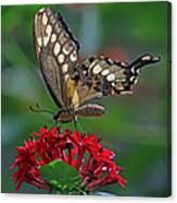 Backlit Swallowtail Canvas Print
