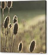 Backlit Teasel Canvas Print