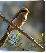 Backlit Yellow Billed Shrike Canvas Print