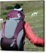 Backpacker Watches Dall Sheep Canvas Print