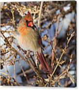 Backyard Birds Female Nothern Cardinal Canvas Print