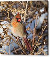 Backyard Birds Female Nothern Cardinal Square Canvas Print