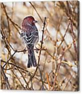 Backyard Birds Male House Finch Canvas Print