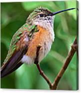 Backyard Broad Tailed Hummingbird Canvas Print