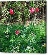 Backyard Tulips Canvas Print