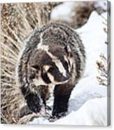 Badger In The Snow Canvas Print