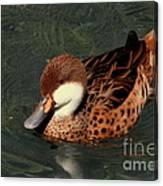 Bahama Pintail Duck Canvas Print