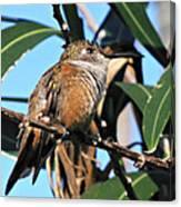Bahama Woodstar Hummingbird Canvas Print