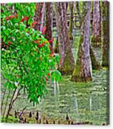 Bald Cypress And Red Buckeye Tree At Mile 122 Of Natchez Trace Parkway-mississippi Canvas Print