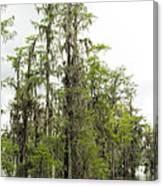 Bald Cypress - Axodium Distichum Canvas Print
