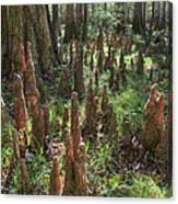 Bald Cypress Knees In Congaree National Park Canvas Print