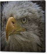 Bald Eagle 26 Canvas Print