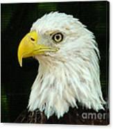 Bald Eagle-42 Canvas Print