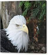 Bald Eagle #3 Canvas Print