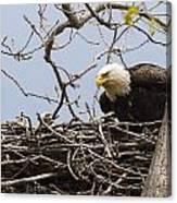 Bald Eagle And Eaglet Canvas Print