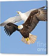 Bald Eagle And Greater Black-backed Gull Canvas Print
