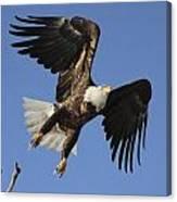Bald Eagle Ascent 4 Canvas Print