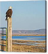 Bald Eagle At Lower Klamath National Wildlife Refuge Canvas Print
