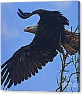 Bald Eagle At Take Off   #6109 Canvas Print