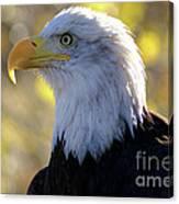 Bald Eagle Beauty Canvas Print