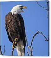 Bald Eagle Calling Canvas Print