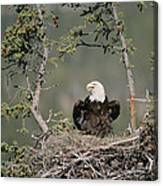 Bald Eagle Calling On Nest Alaska Canvas Print