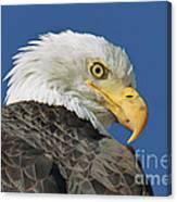 Bald Eagle Closeup Canvas Print