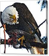 Bald Eagle Eating It's Prey Canvas Print