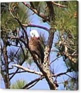 Bald Eagle Grooming Canvas Print