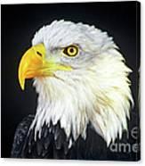 Bald Eagle Hailaeetus Leucocephalus Wildlife Rescue Canvas Print