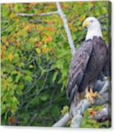 Bald Eagle In Fall Colors Animals Canvas Print