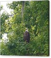 Bald Eagle In Sweetgum Tree Canvas Print