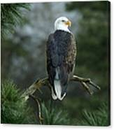 Bald Eagle In Tree Canvas Print