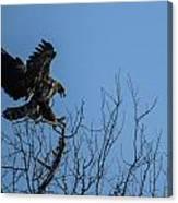 Bald Eagle Juvenile Landing In Tree Top Canvas Print