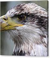 Bald Eagle - Juvenile - Profile Canvas Print