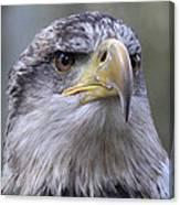 Bald Eagle - Juvenile Canvas Print